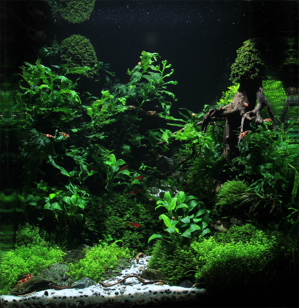 Aquariums planted tanks on pinterest aquascaping for Plante aquarium